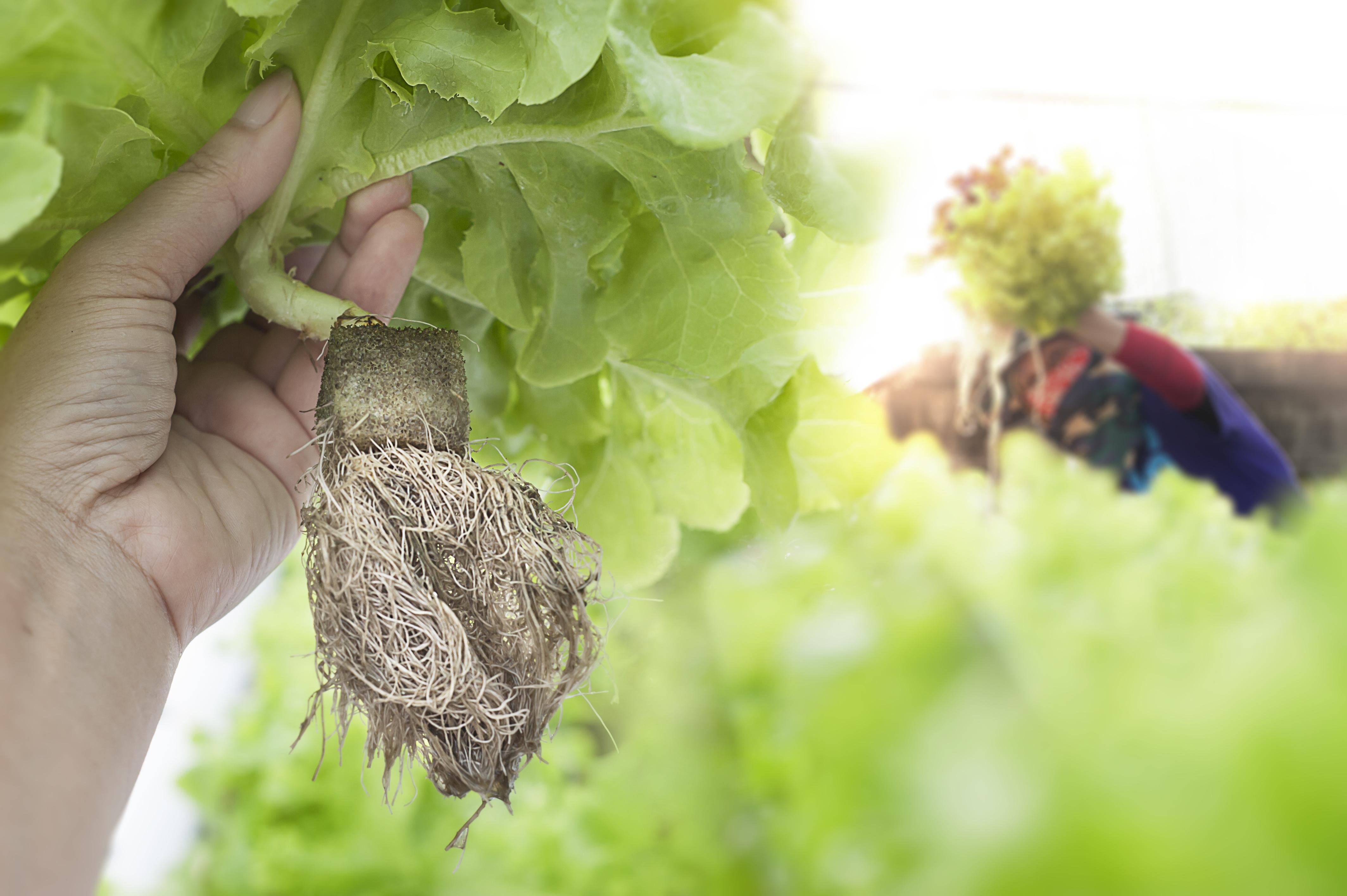 Farmer harvests Hydroponics plants. Aeroponics Salad vegetable.