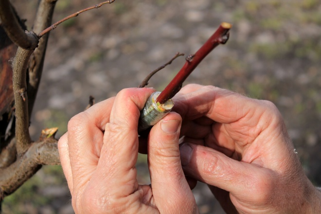 Gardener holds branch of fruit tree in his hands with finished grafting. Closeup.
