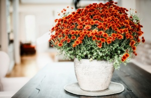 Vase with chrysanthemum on a table in the living room, home interior and design