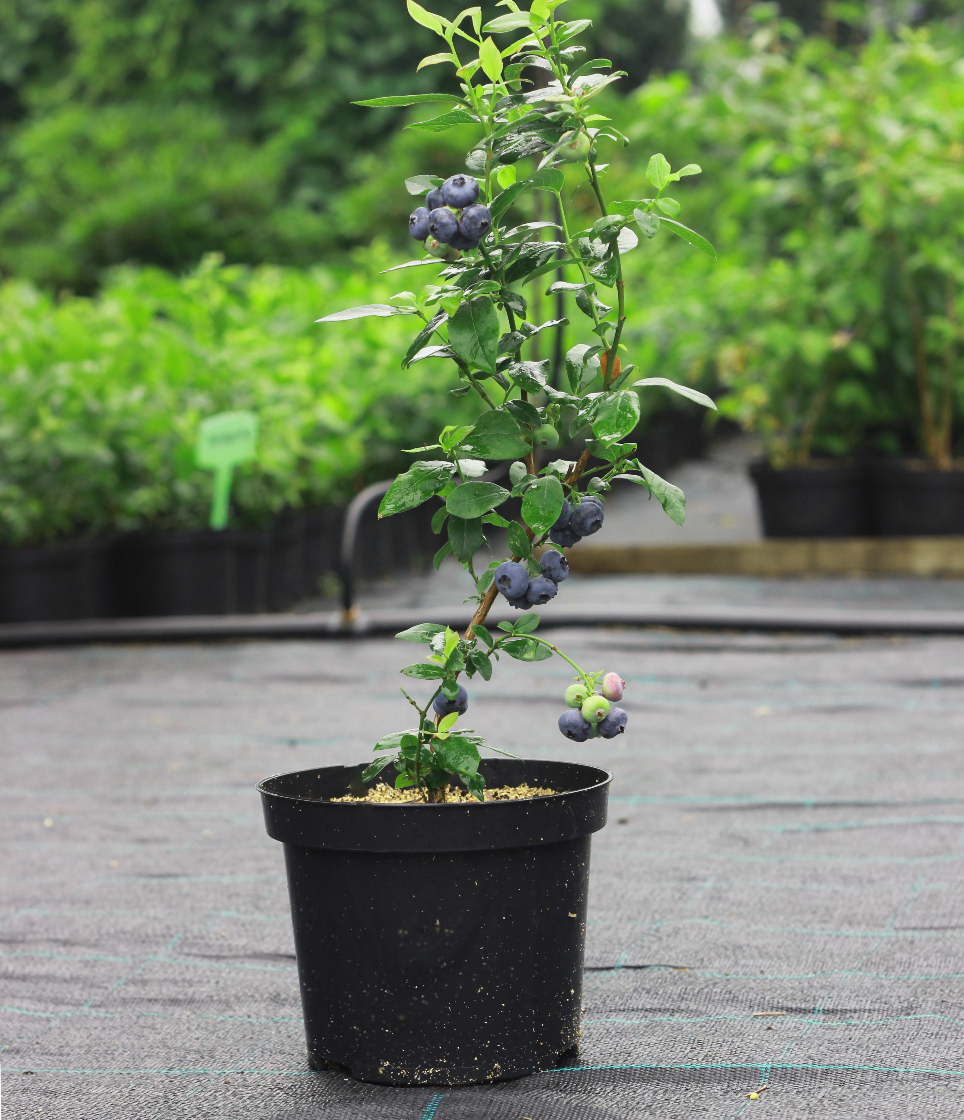 Blueberry plant with fruits in the nursery in garden centre
