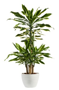Fresh Look Dracaena Fragrans Flowering Plant