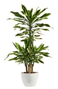 Fresh Look Dracaena Fragrans Flowering Plant