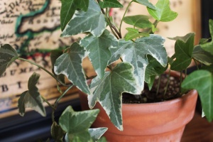 Variegated English ivy hedera helix houseplant indoors colorful green