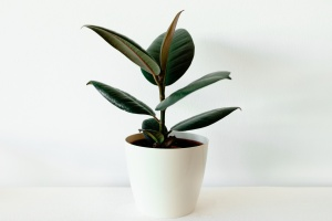 Ficus elastica in white flower pot