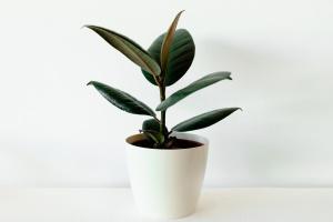 Ficus elastica in white flower pot