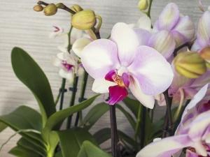 Phalaenopsis orchid. Beautiful flowers macro.