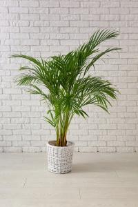 Decorative Areca palm near white brick wall