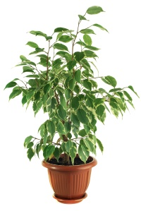Ficus Benjamina Starlight on a white background. Isolated