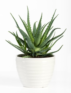 Isolated Aloe Vera Plant on White Pot