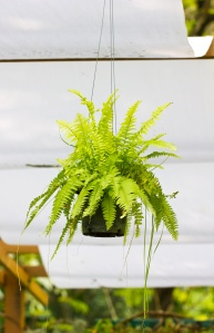 Fern.A potted plant (Nephrolepis exaltata).