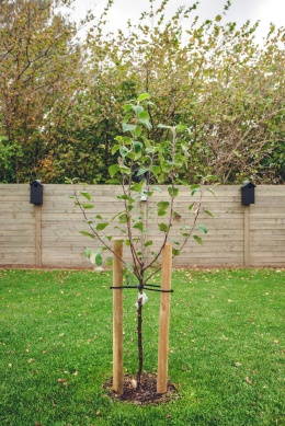 New planted apple tree in a garden