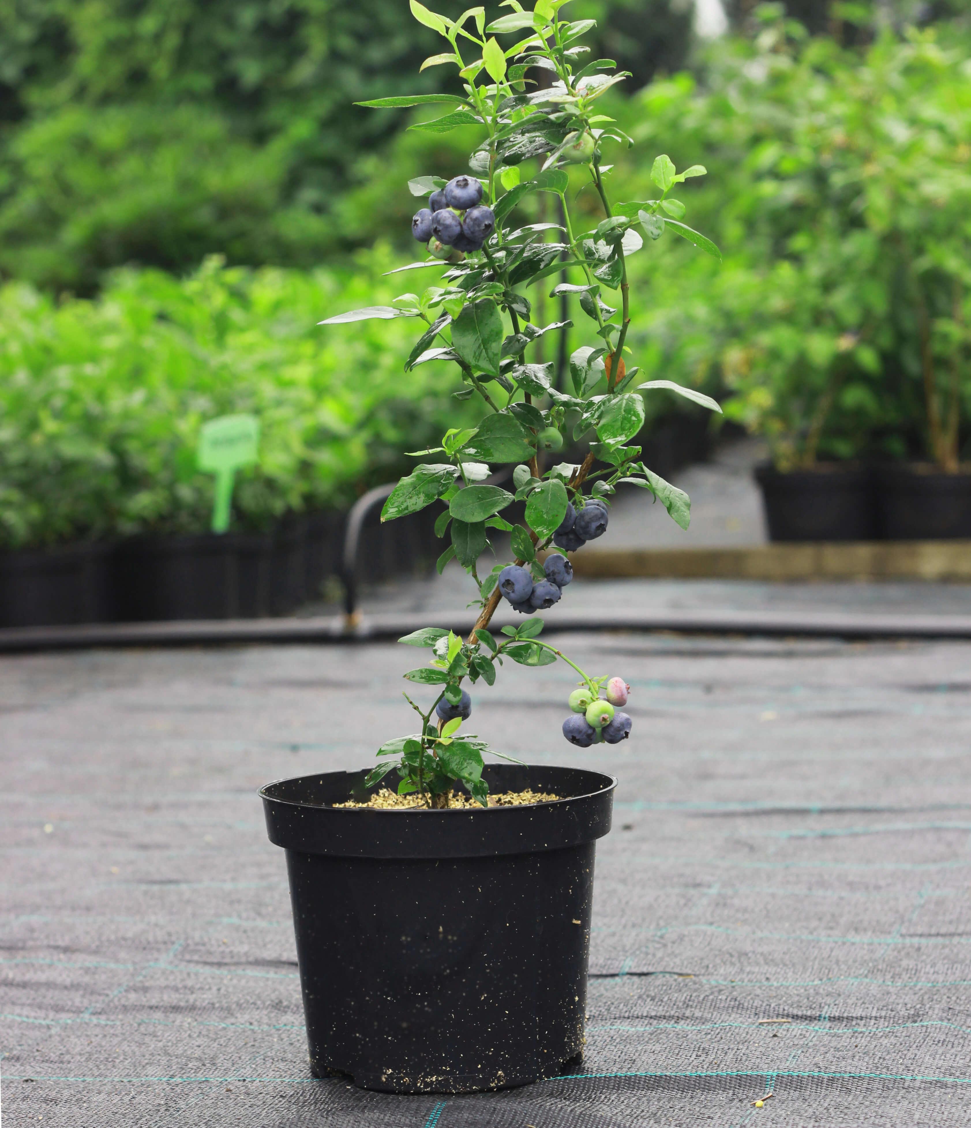 blåbær (1)