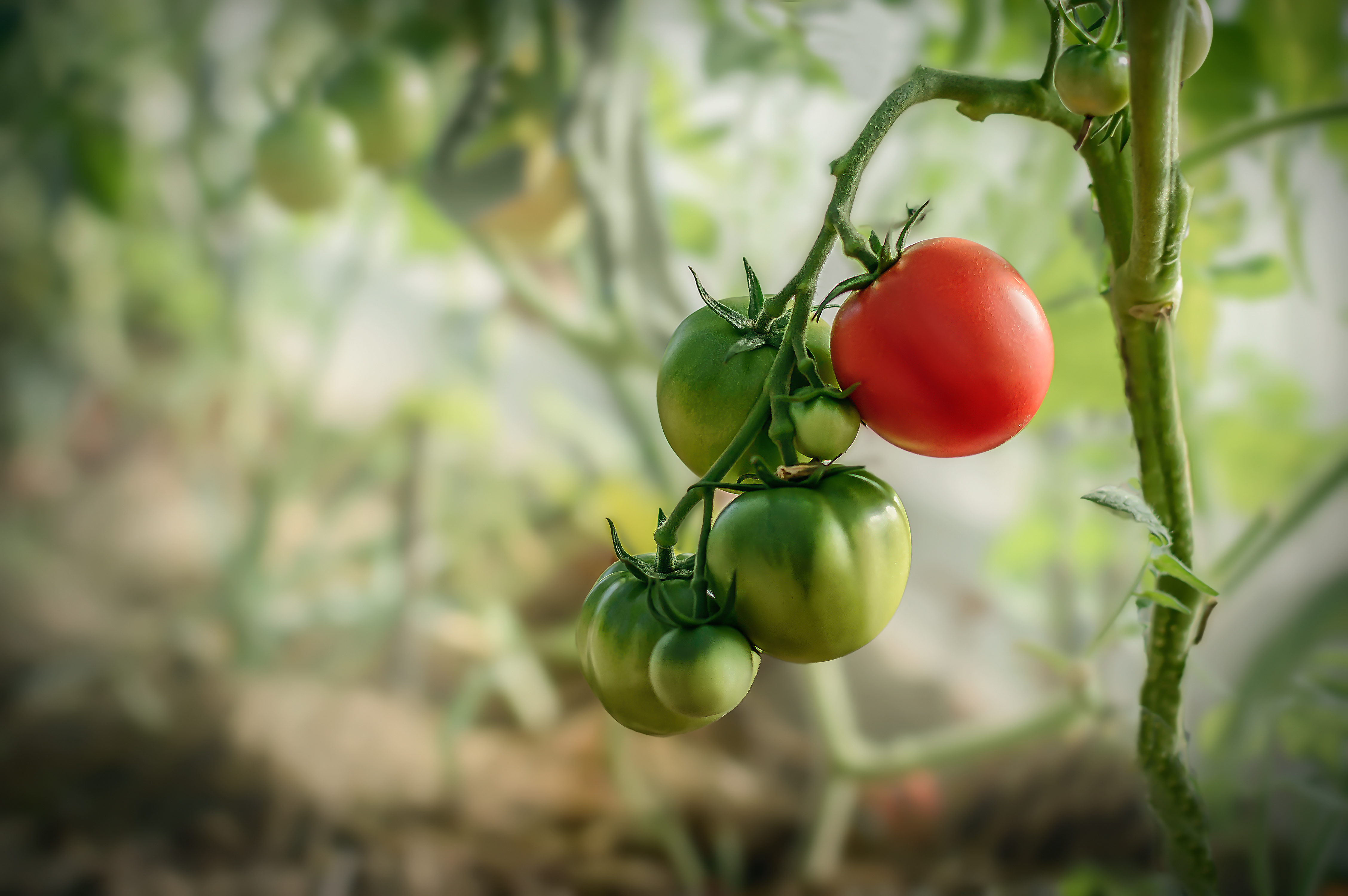 Red and green tomatoes growing in a greenhouse in the sprigs summer