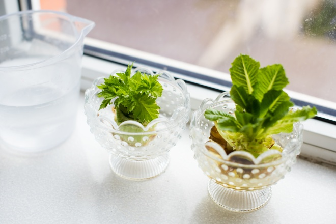 Growing celery and lettuce