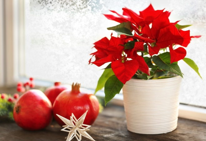 Beautiful Poinsettia in pot on windowsill at home