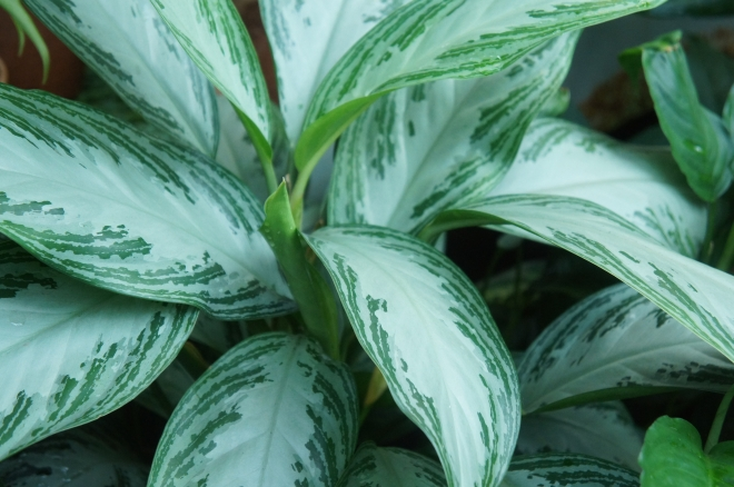 Aglaonema commutatum schott green foliage