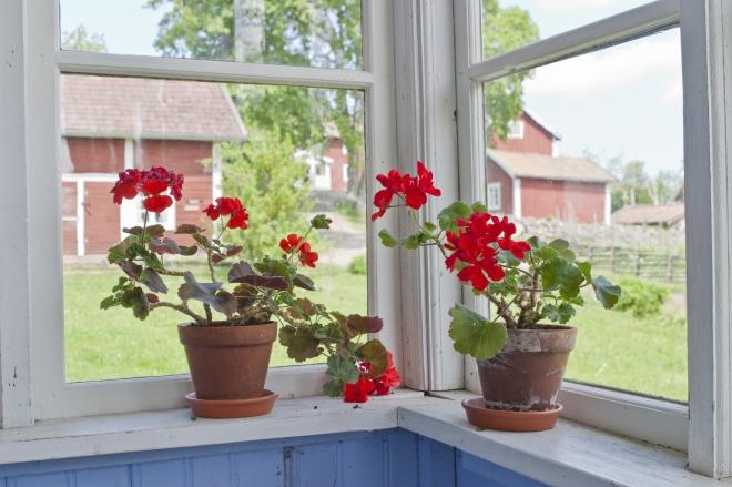 Geraniums flowers