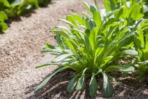Mibuna greens growing in a farm