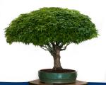 bonsai 3-8
