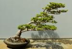 bonsai 4-8
