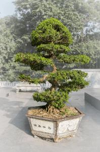 bonsai 9-8